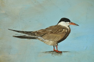 common tern detail 1