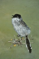 silver flycatcher detail 1
