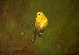 Yellow Warbler-Light in The Coal Mine